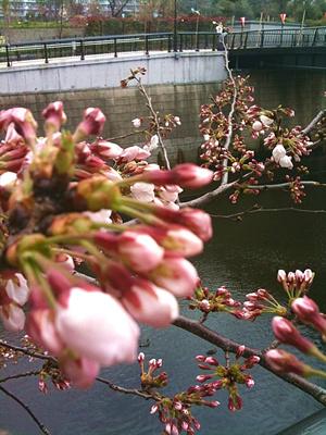 Sakura100329_1